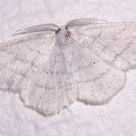 Weißstirn-Weißspanner