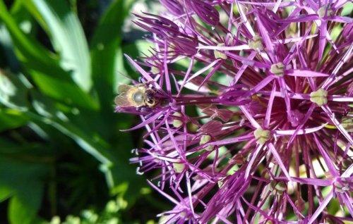 Allium mit Insekt