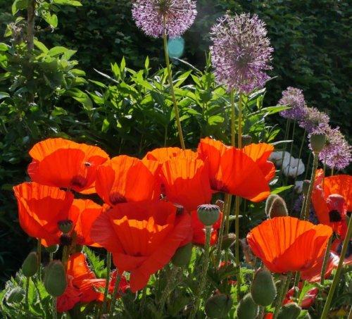 Orientalischer Mohn & Allium in Morgensonne